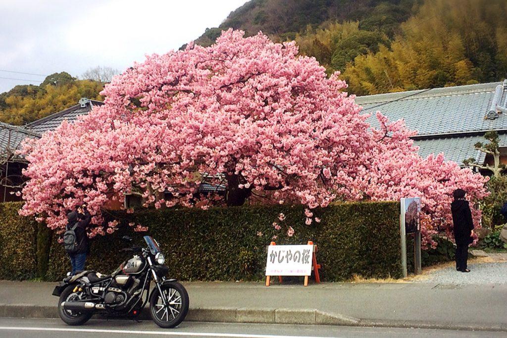 かじやの桜(バイクとの撮影に最適)