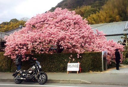 河津桜ツーリング「かじやの桜」
