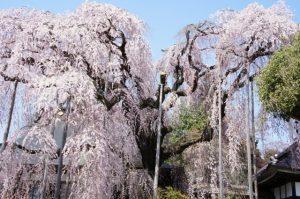 慈雲寺 しだれ桜