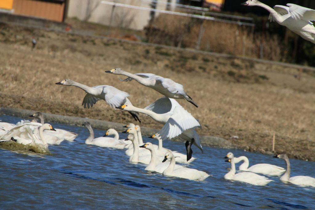 白鳥の聖地 印西 ツーリング
