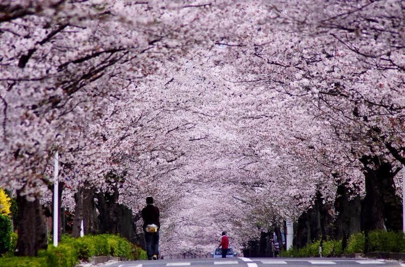 東伊豆 桜 トンネル