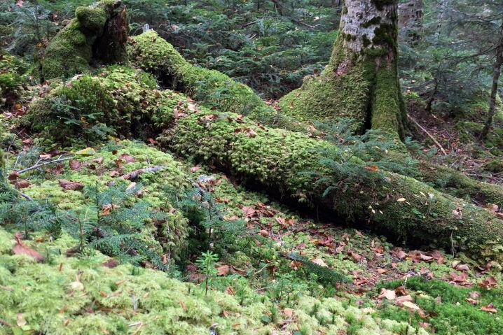 白駒の池 原生林 苔の森