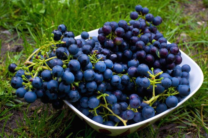 赤ワイン用ブドウ品種 ピノノワール