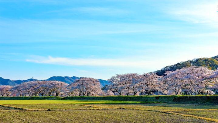栃木 宮の桜